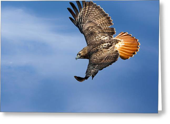 Redtail Hawks Greeting Cards - Red-Tailed Hawk Soaring Square Greeting Card by Bill  Wakeley