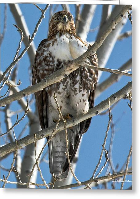 Hawk Creek Greeting Cards - Red-tailed Hawk Stare Down Greeting Card by Stephen  Johnson