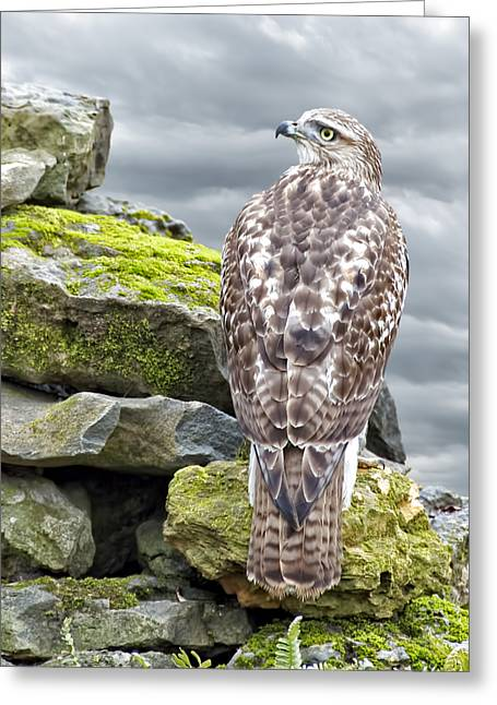 Red Tail Hawk Photo Greeting Cards - Red Tailed Hawk Greeting Card by Steven  Michael
