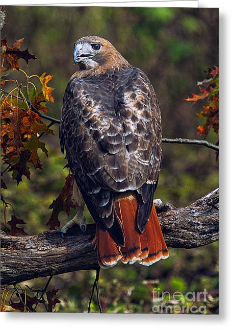 Bird Photography Greeting Cards - Red Tailed Hawk Greeting Card by Todd Bielby