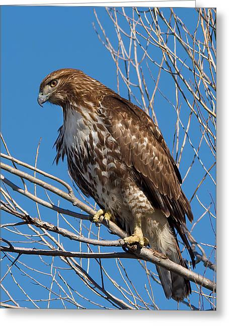 Photorealism Greeting Cards - Red-tailed hawk watching the ducks Greeting Card by Kathleen Bishop