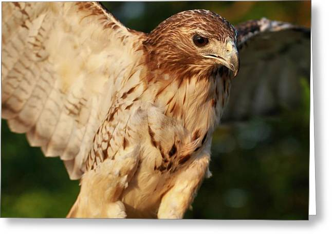 Hawk Greeting Cards - Red Tailed Hawk Wingspan Greeting Card by Dan Sproul