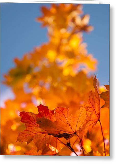 """autumn Foliage New England"" Greeting Cards - Red tipped gold Greeting Card by Jeff Folger"