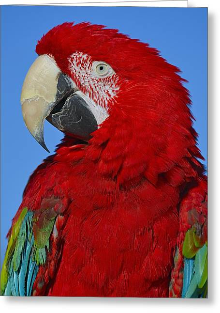 Wild Parrots Greeting Cards - Red Greeting Card by Tony Beck
