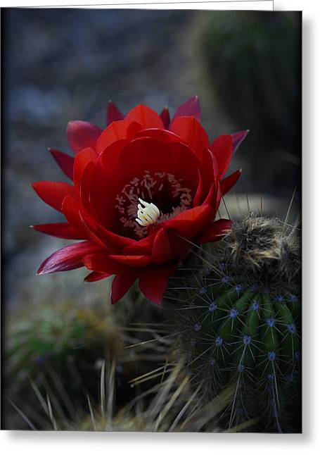 Torch Cactus Greeting Cards - Red Torch Cactus Flower  Greeting Card by Saija  Lehtonen