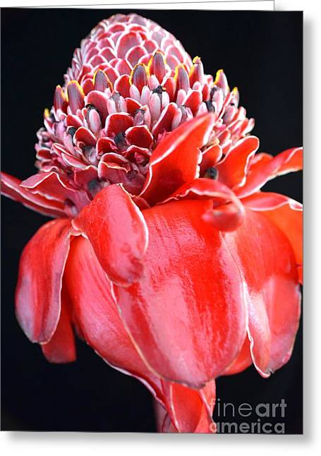 Award Greeting Cards - Red Torch Ginger on Black Greeting Card by Mary Deal