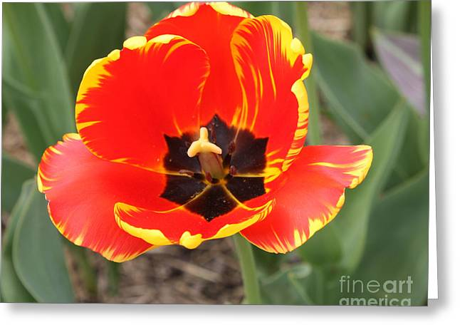 Green And Yellow Greeting Cards - Red Tulip At Brooklyn Botanical Gardens Greeting Card by John Telfer