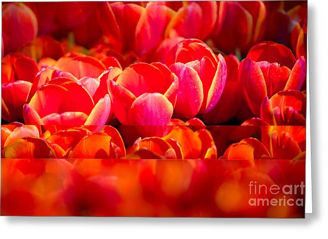 Dallas Arboretum Greeting Cards - Red Tulip Blend Greeting Card by Sonja Quintero