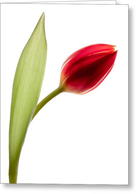 Tulipa Greeting Cards - Red Tulip Greeting Card by Dave Bowman