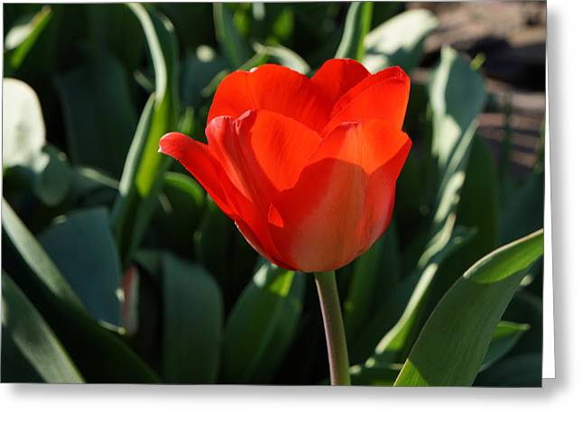 Popular Flower Art Greeting Cards - RED Tulip Flower Art Prints Spring Garden Greeting Card by Baslee Troutman