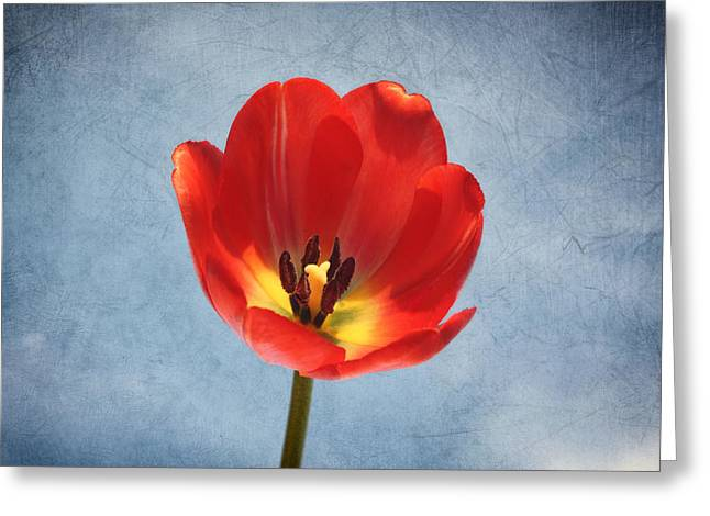 Mother Gift Greeting Cards - Red Tulip Glow Greeting Card by Kim Hojnacki