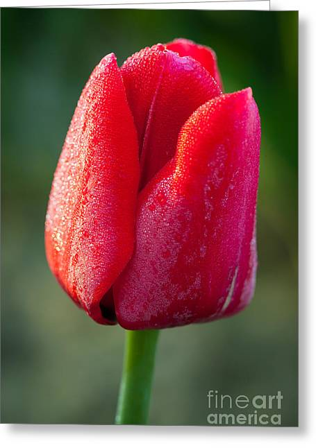 Mount Vernon Greeting Cards - Red Tulip Greeting Card by Inge Johnsson