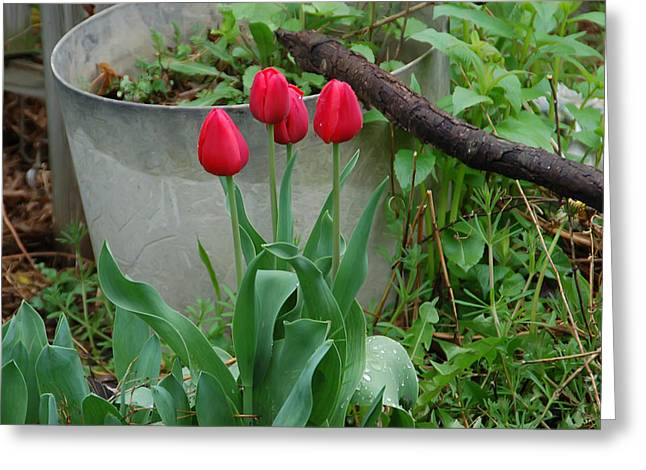 Pretty Flowers Greeting Cards - Red tulips Greeting Card by Aimee L Maher Photography and Art