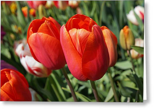Popular Flower Art Greeting Cards - RED Tulips Flowers Pink Orange Tulip Flowers Greeting Card by Baslee Troutman
