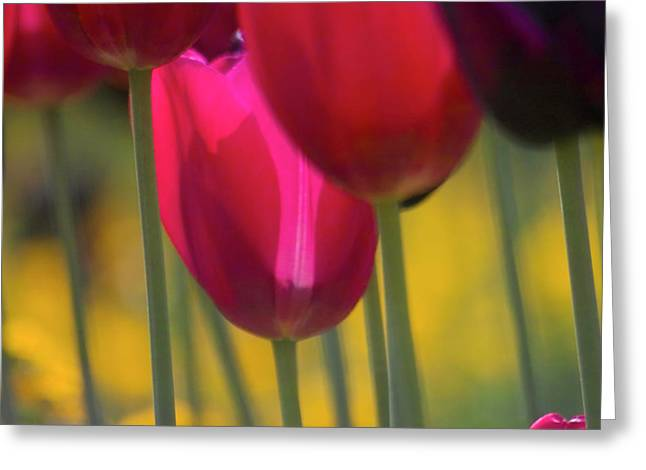 Square_format Greeting Cards - Red Tulips Greeting Card by Heiko Koehrer-Wagner