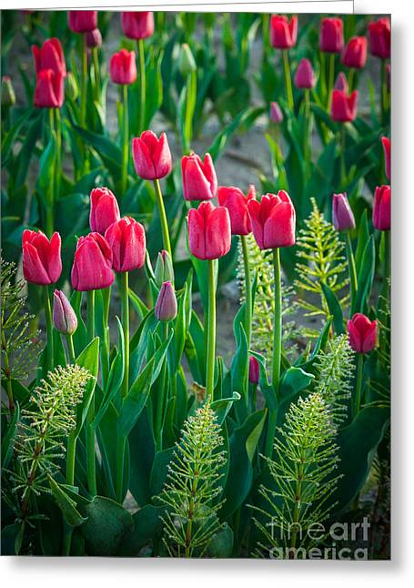 Mount Vernon Greeting Cards - Red tulips in Skagit Valley Greeting Card by Inge Johnsson