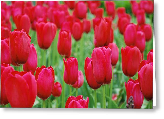 Red Tulips Greeting Card by Jennifer Ancker