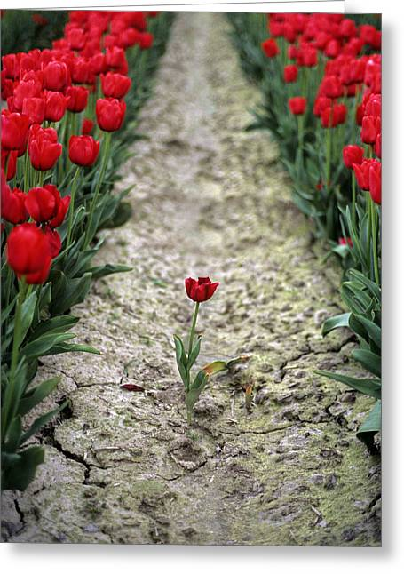 Red Tulips Greeting Card by Jim Corwin