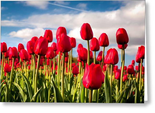 Sun Spots Greeting Cards - Red Tulips Greeting Card by Matt Dobson