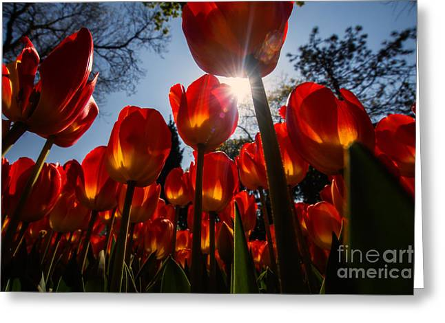 Istanbul Greeting Cards - Red Tulips... Greeting Card by Merthan Kortan
