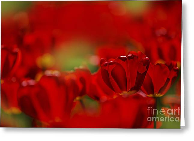 Tulipa Greeting Cards - Red Tulips Greeting Card by Nailia Schwarz