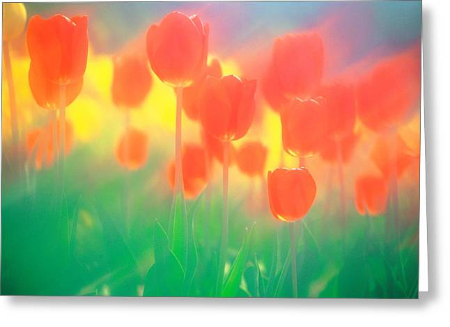 Close Focus Nature Scene Greeting Cards - Red Tulips Greeting Card by Panoramic Images