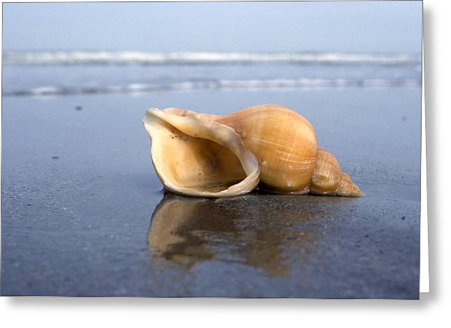 Beach Photos Greeting Cards - Red Whelk Shell On Beach Netherlands Greeting Card by Wil Meinderts