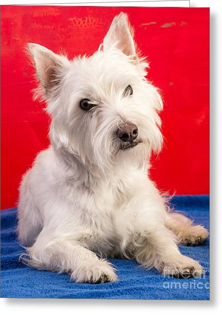 Westie Pup Greeting Cards - Red White and Blue Westie Greeting Card by Edward Fielding