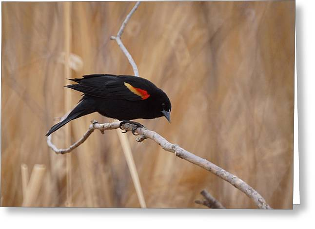Red Winged Blackbird 1 Greeting Card by Ernie Echols