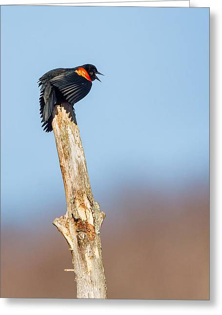 Blackbird Greeting Cards - Red Winged Blackbird Greeting Card by Bill  Wakeley