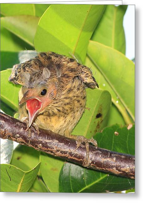 Hungry Chicks Greeting Cards - Red Winged Blackbird Chick Greeting Card by Lynns Encounters