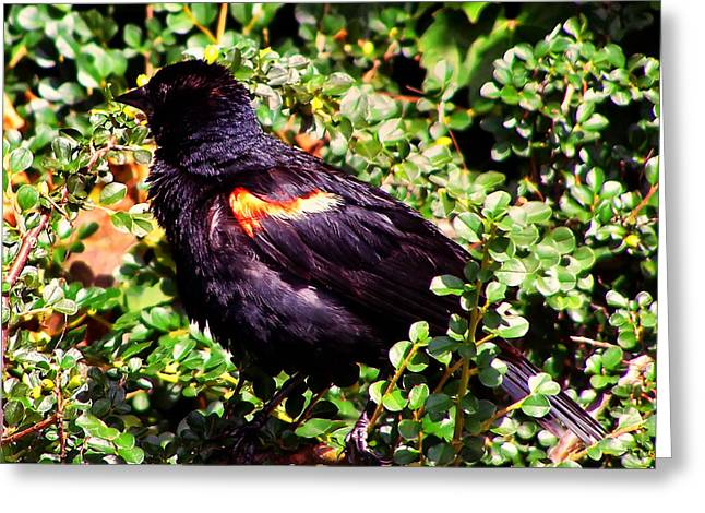 Photos Of Birds Greeting Cards - Red Winged Blackbird Greeting Card by Chris Flees