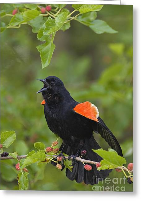 Red-winged Blackbird - D008481 Greeting Card by Daniel Dempster