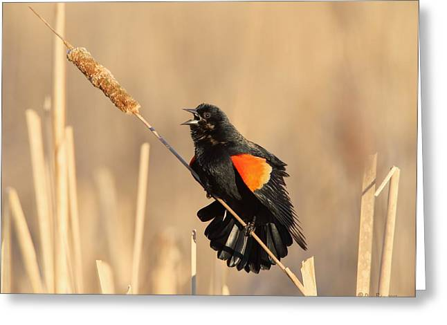 Red Winged Blackbird On Cattail Greeting Card by Daniel Behm