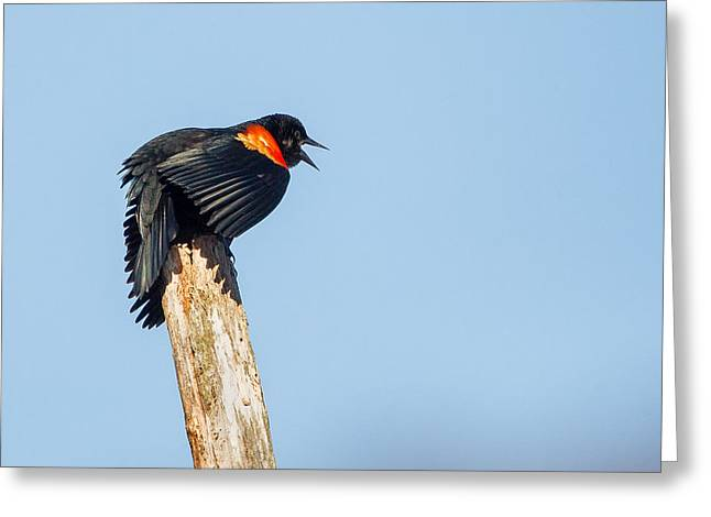 Blackbird Greeting Cards - Red Winged Blackbird Square Greeting Card by Bill  Wakeley