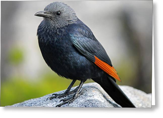 Cape Town Greeting Cards - Red-Winged Starling Greeting Card by Chris Whittle
