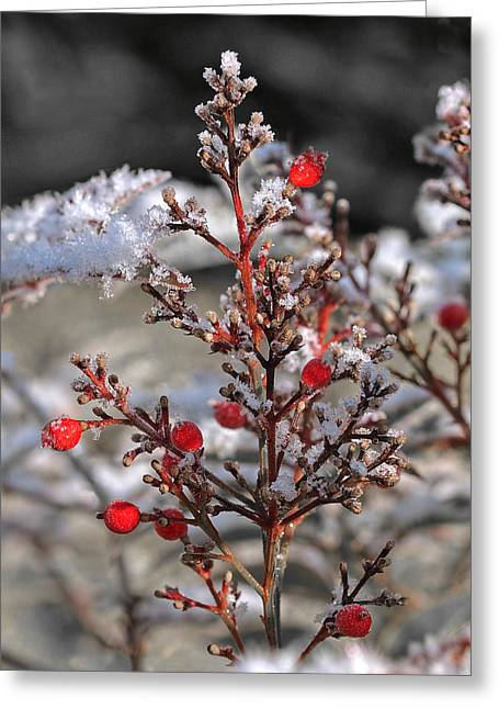 Snow-covered Landscape Greeting Cards - Red Winter Berries of Nandia Domestica Greeting Card by Gill Billington
