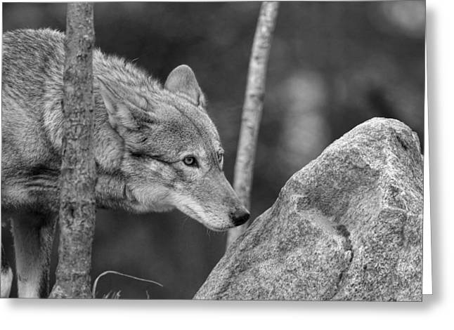 Preditor Greeting Cards - Red Wolf Black and White Greeting Card by Steve McKinzie