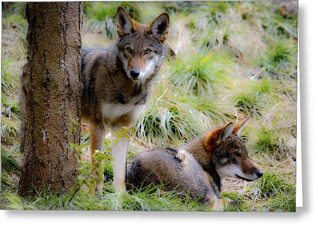 Preditor Greeting Cards - Red Wolves Greeting Card by Steve McKinzie