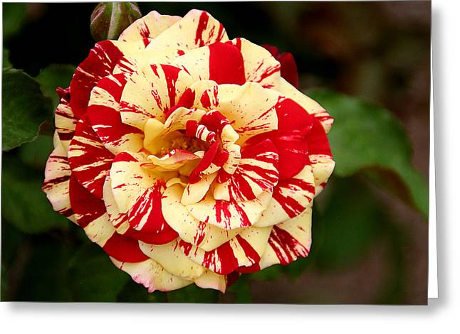 Rose Garden Greeting Cards - Red Yellow Rose Greeting Card by Christine Till