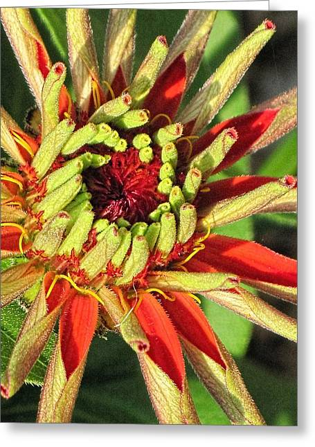 3.14 Greeting Cards - Red Zinnia Early Bloom  Greeting Card by Doug Morgan