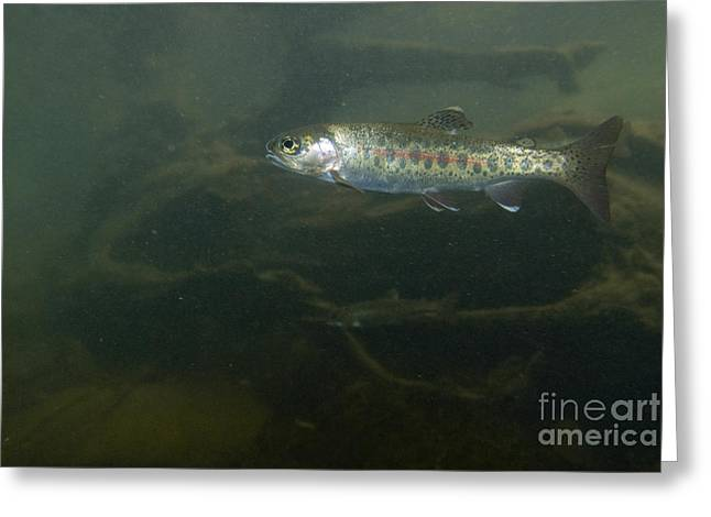 Salmonid Greeting Cards - Redband Trout Greeting Card by William H. Mullins