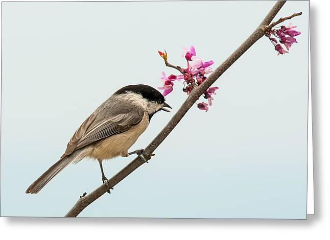 Birds With Flowers Greeting Cards - Redbud and Chickadee Greeting Card by Lara Ellis