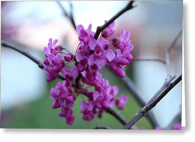 Indiana Flowers Greeting Cards - Redbud Blooming Greeting Card by Andrea Kappler
