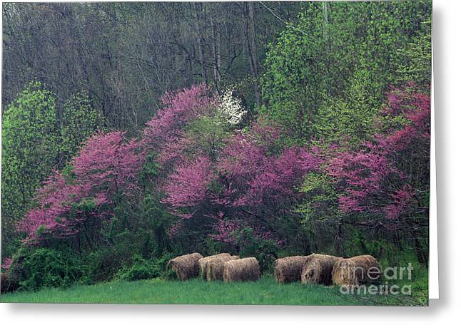 Indiana Dogwood Trees Greeting Cards - Redbud - FM000095 Greeting Card by Daniel Dempster