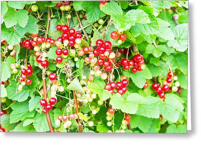 Orchard Greeting Cards - Redcurrants Greeting Card by Tom Gowanlock