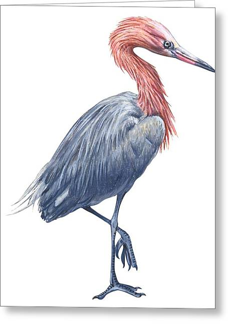 White Background Drawings Greeting Cards - Reddish egret Greeting Card by Anonymous