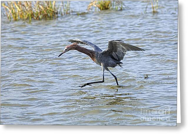 Nature Center Greeting Cards - Reddish Egret canopy feeding Greeting Card by Louise Heusinkveld