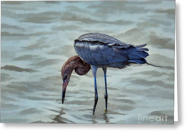 Nature Center Greeting Cards - Reddish Egret feeding in shallow water Greeting Card by Louise Heusinkveld