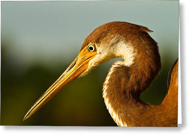 Reddish Egret In Shark Valley Florida Greeting Card by Andres Leon